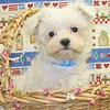 X Sold to Tifany W. , Grapevine Tx.+ PUPPY NUMBER ( # MTOY 605 -2005-CL-3 )<br /> Breed: Maltese<br /> Sex: Male<br /> Size:  Toy<br /> D.O.B. 4-2-2005<br /> Color: White<br /> Sold for  $ 575.00 with coupon code listed on our web site.<br /> Personality: Sweet, Sweet, Sweet!!!!<br /> COMMENTS: Will be approximately 5 to 9 pounds full grown<br /> SUMMER SPECIAL PRICES + COUPON CODES ACCEPTED ON THIS PUPPY ++