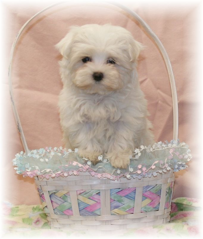 X Sold to David and Linda R. of Indianapolis, IN<br /> PUPPY NUMBER: (# MTOY-10-23-2005)<br /> BREED: MALTESE<br /> SEX: Male<br /> SIZE: Toy<br /> D.O.B.: 07-07-05<br /> PRICE: $1,075.00 Without Registration, $1,475.00 With Registration.<br /> PERSONALITY: She is sweet and playful.