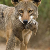 Coyote with its Catch