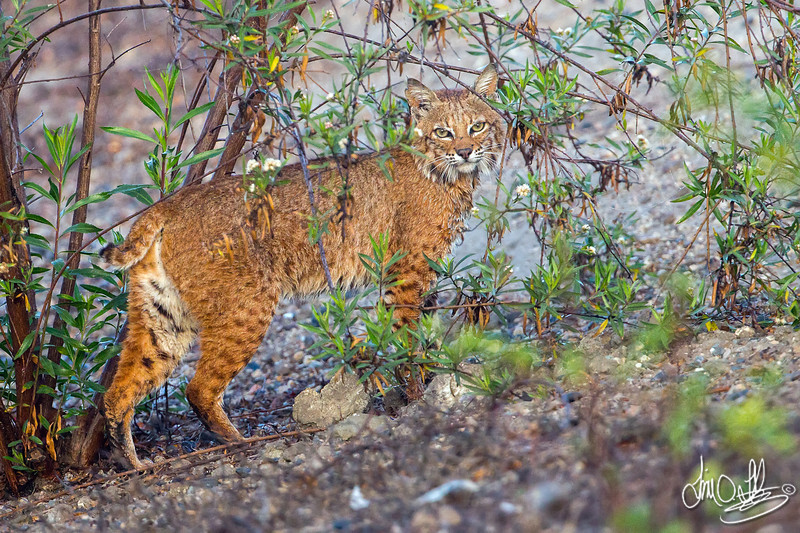 Bobcat out hunting early in the morning