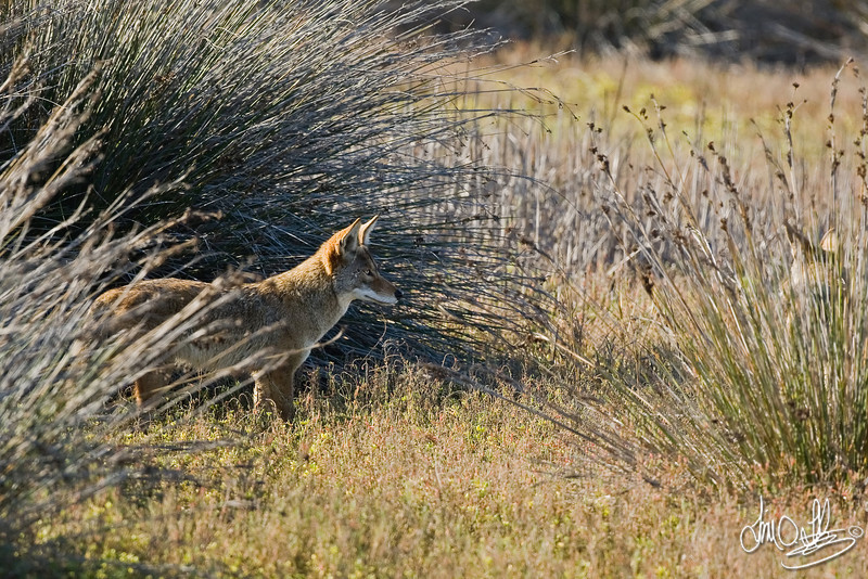 Coyote<br /> Bolsa Chica Wetlands • Huntington Beach, CA