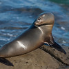 California Sea Lion