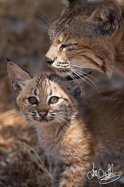 Mother Bobcat and kitten