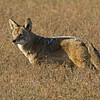 "Coyote<br /> This image is in the 2010 ""Wings Over Bolsa"" Calendar<br /> Bolsa Chica Wetlands • Huntington Beach, CA"