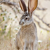 California Jack Rabbit