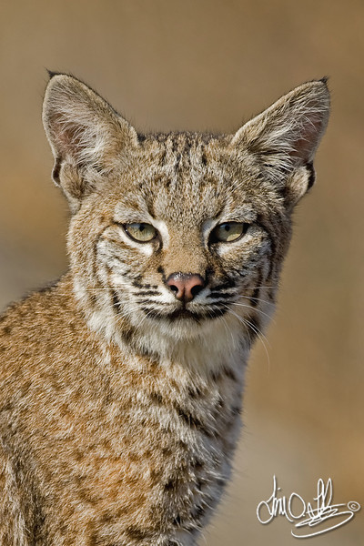 Young Bobcat portrait