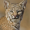 Young Bobcat portrait
