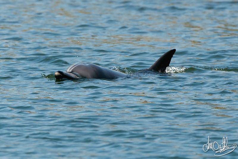 Wayward Dolphin<br /> Bolsa Chica Wetlands • Huntington Beach, CA • April 27, 2012