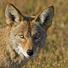 Coyote<br /> Bolsa Chica Wetlands • Huntington Beach, CA