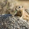 Antelope Squirrel<br /> Anza Borrego Desert, CA