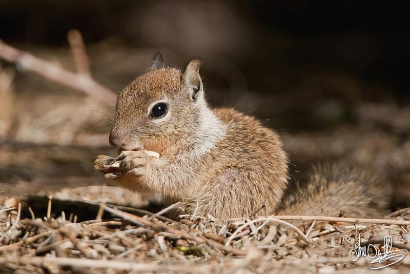 Baby Ground Squirrel <br /> Morongo Valley, CA