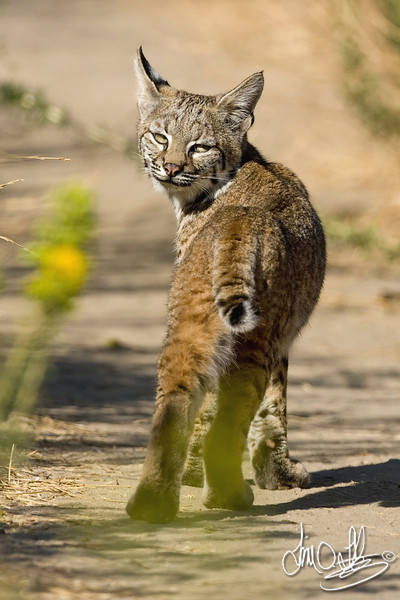 Bobcat parting shot