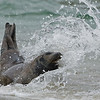 Young California Sea Lion playing in the surf