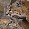Female Bobcat and kitten
