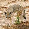 Coyote stare down