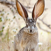 California Jack Rabbit<br /> Anza Borrego Desert, CA