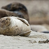 Harbor Seal having a nice dream