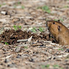 A Gopher checking things out