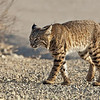 Bobcat (male)