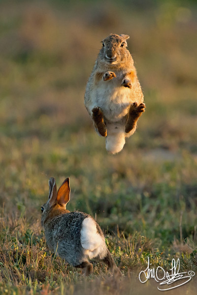 Rabbit (female) jumping to elude the male.<br /> Huntington Beach, CA