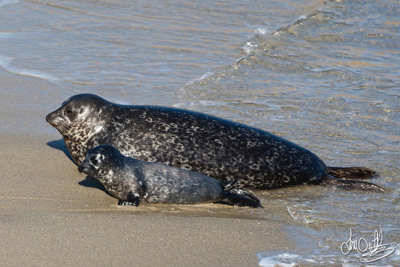 Harbor Seals, mom with pup