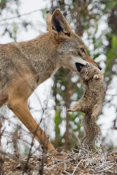Coyote with unfortunate squirrel just seconds after catch.<br /> Bolsa Chica Wetlands • Huntington Beach, CA