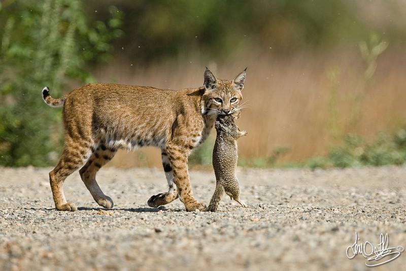 Female Bobcat bringing home food for the kitten