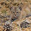 Wild Bobcat Kitten with mom very close