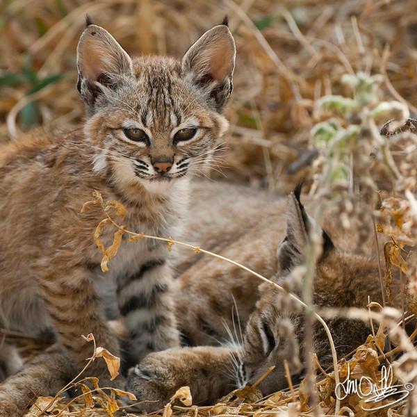 Bobcat Kitten and Mother
