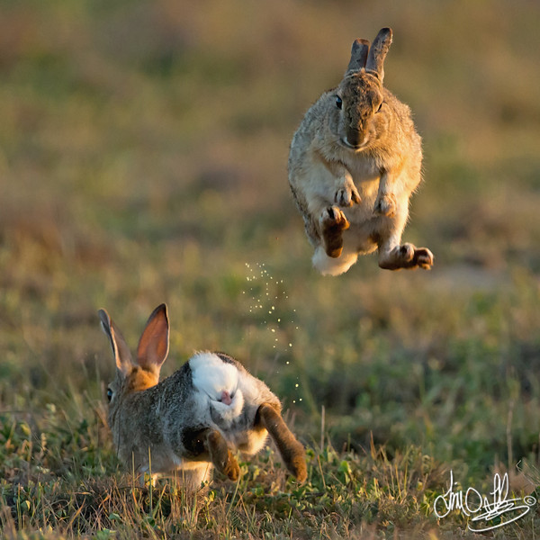 Rabbit (female) jumping to elude the male.<br /> The male sprays her with urine to entice her,<br /> kind of like us giving our girlfriends a bouquet of roses.<br /> Huntington Beach, CA
