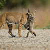 Female Bobcat bringing home food for the kitten
