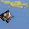 Red-eared Slider taking a peek