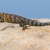 Granite Spiny lizard