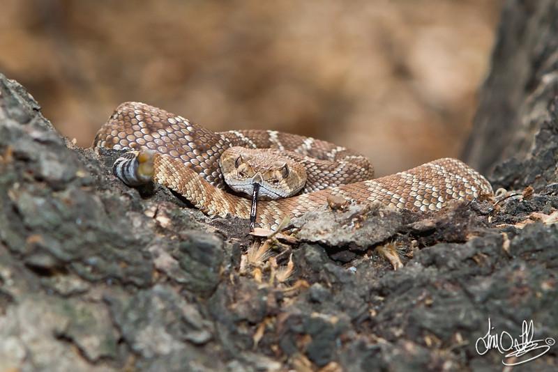 Red Diamondback Rattlesnake