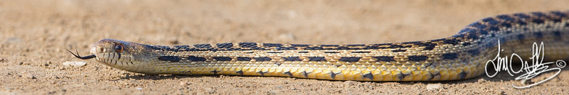Gopher Snake<br /> Bolsa Chica Wetlands • Huntington Beach, CA