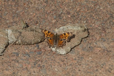 Timber Wolf scat comma Eastern Comma Polygonia comma wolf scat Snake Trail Superior National Forest Lake Co MN IMG_8902