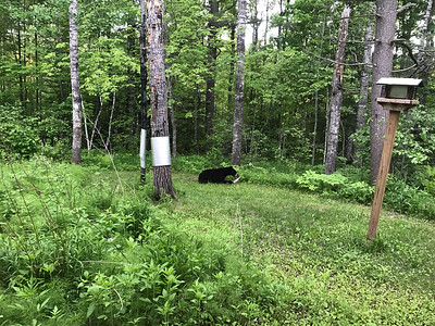 Black Bear at Skogstjarna Carlton County MNIMG_5619