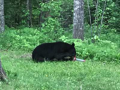 Black Bear at Skogstjarna Carlton County MNIMG_5614