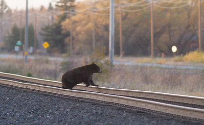 Black Bear crossing railroad tracks near Warroad MN IMG_0148