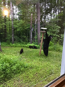 Black Bear sow with three cubs in our backyard feeder Skogstjarna Carlton County MNIMG_5648
