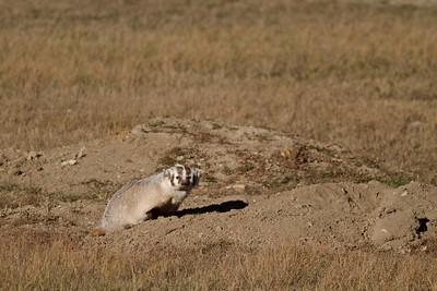 Badger Teddy Roosevelt National Park ND IMG_5566