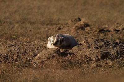 Badger Teddy Roosevelt National Park ND IMG_5604