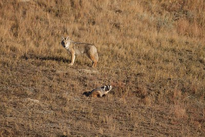 Badger and Coyote hunting Teddy Roosevelt National Park ND IMG_5686