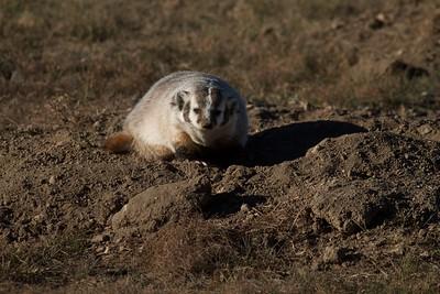 Badger Teddy Roosevelt National Park ND IMG_5586