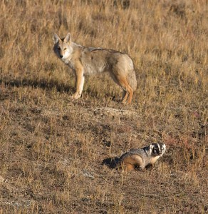 Badger and Coyote hunting Teddy Roosevelt National Park ND IMG_5687