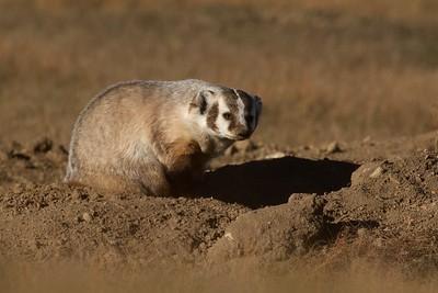 Badger Teddy Roosevelt National Park ND IMG_5623