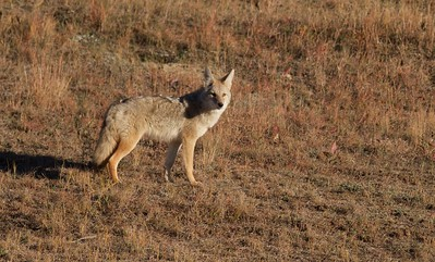 Badger and Coyote hunting Teddy Roosevelt National Park ND IMG_5660
