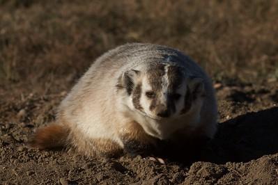 Badger Teddy Roosevelt National Park ND IMG_5590
