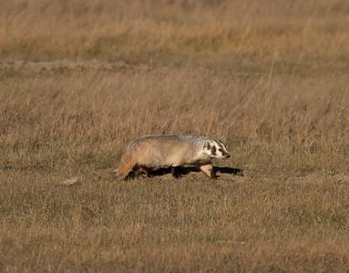 Badger Teddy Roosevelt National Park ND IMG_5534