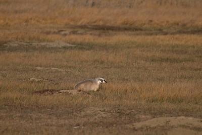 Badger Teddy Roosevelt National Park ND IMG_5549